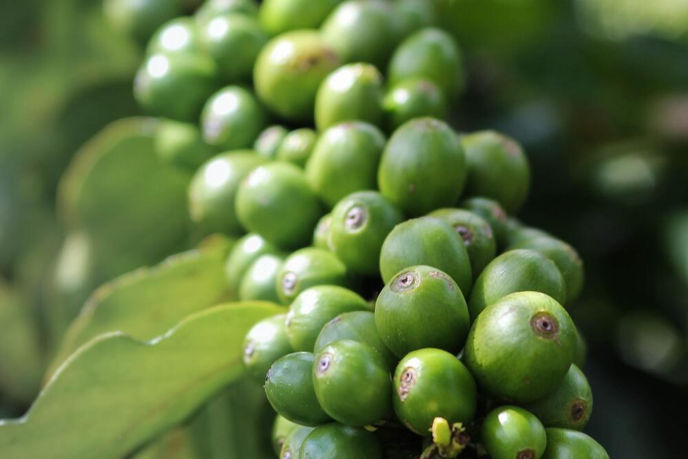 Café vert sur une branche de caféier