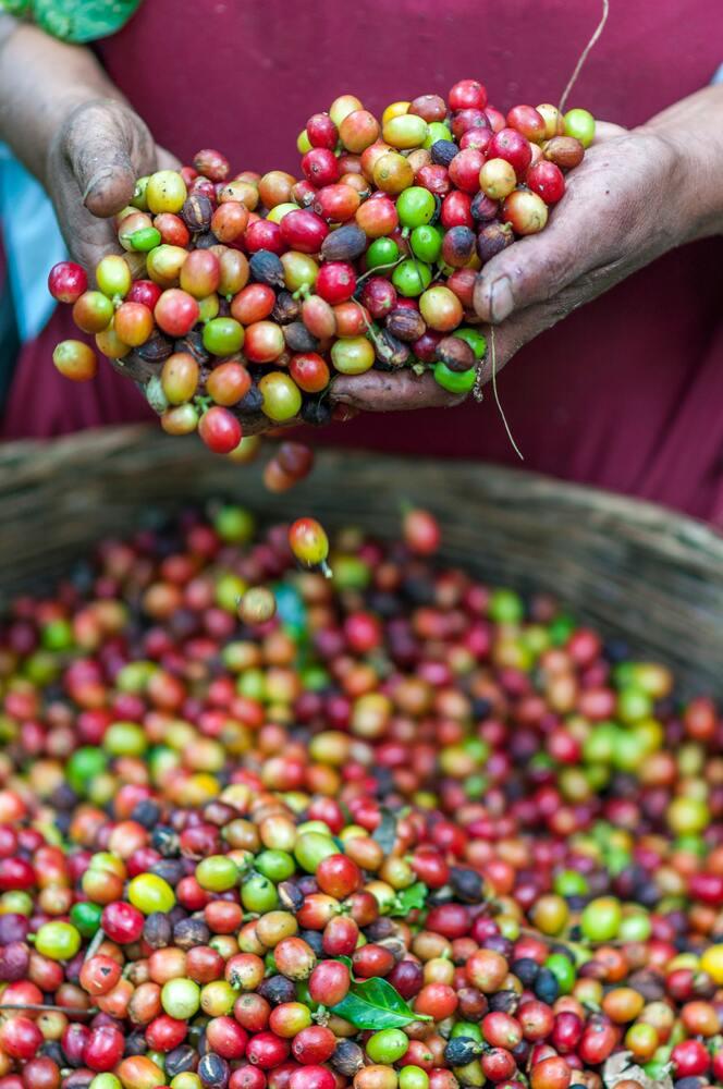 Récolte de grains de café avant tri